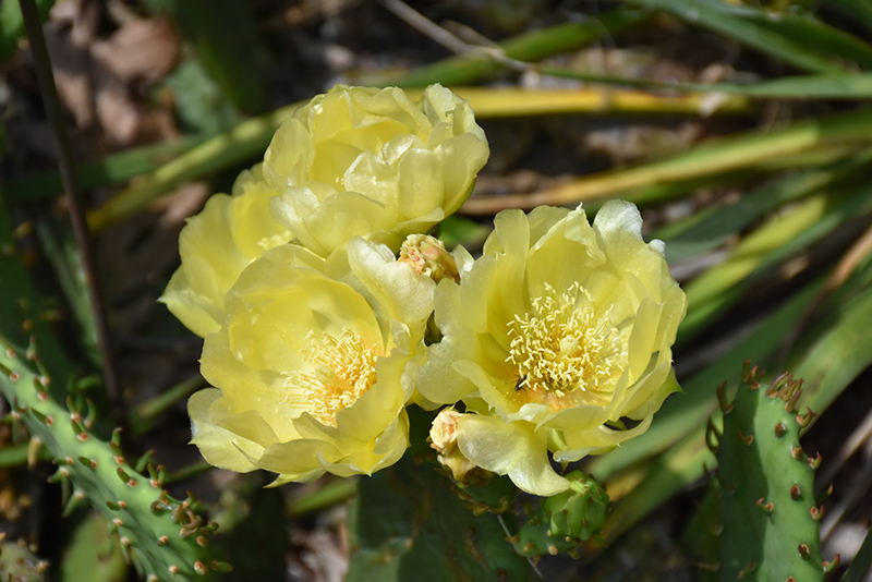 Prickly Pear Cactus Opuntia Humifusa In Cumming Iowa Ia At