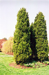 Eastern Redcedar (Juniperus virginiana) at Ted Lare Design and Build