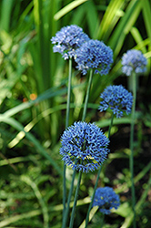 Blue Drumstick Ornamental Onion (Allium caeruleum 'Blue Drumstick') at Ted Lare Design and Build