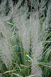 Korean Reed Grass (Calamagrostis brachytricha) at Ted Lare Design and Build