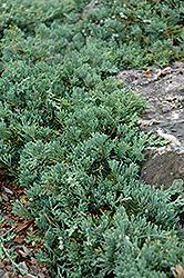 Blue Rug Juniper (Juniperus horizontalis 'Wiltonii') at Ted Lare Design and Build