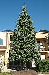 White Fir (Abies concolor) at Ted Lare Design and Build