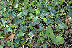 Bulgarian Ivy (Hedera helix 'Bulgaria') at Ted Lare Design and Build