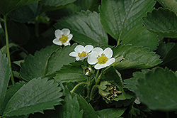 Everbearing Strawberry (Fragaria 'Everbearing') at Ted Lare Design and Build