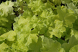 Citronelle Coral Bells (Heuchera 'Citronelle') at Ted Lare Design and Build