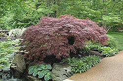 Red Select Japanese Maple (Acer palmatum 'Red Select') at Ted Lare Design and Build