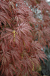 Inaba Shidare Cutleaf Japanese Maple (Acer palmatum 'Inaba Shidare') at Ted Lare Design and Build