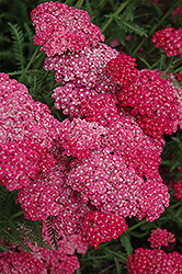Saucy Seduction Yarrow (Achillea millefolium 'Saucy Seduction') at Ted Lare Design and Build