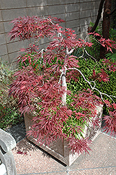 Ever Red Lace-Leaf Japanese Maple (Acer palmatum 'Ever Red') at Ted Lare Design and Build