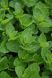 Spearmint (Mentha spicata) at Ted Lare Design and Build
