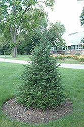 Canaan Fir (Abies balsamea 'var. phanerolepis') at Ted Lare Design and Build