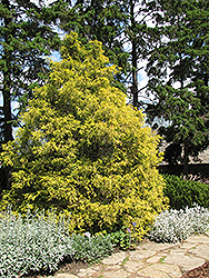 Golden Threadleaf Falsecypress (Chamaecyparis pisifera 'Filifera Aurea') at Ted Lare Design and Build
