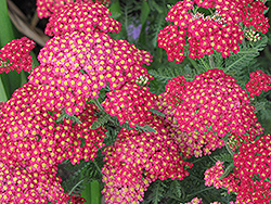 Paprika Yarrow (Achillea millefolium 'Paprika') at Ted Lare Design and Build