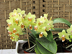Hybrid Moth Orchid (Phalaenopsis x hybrida) at Ted Lare Design and Build
