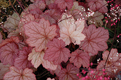 Georgia Peach Coral Bells (Heuchera 'Georgia Peach') at Ted Lare Design and Build