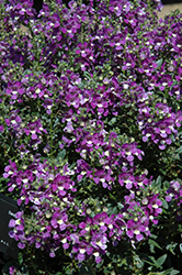 Alonia Big Violet Angelonia (Angelonia angustifolia 'Alonia Big Violet') at Ted Lare Design and Build
