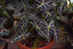Amazon Elephant's Ear (Alocasia 'Amazonica') at Ted Lare Design and Build
