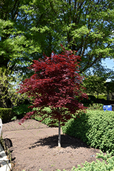 Fireglow Japanese Maple (Acer palmatum 'Fireglow') at Ted Lare Design and Build