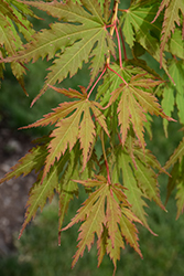 North Wind® Japanese Maple (Acer 'IsINW') at Ted Lare Design and Build