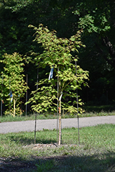 Jack Frost® Arctic Jade® Maple (Acer 'isIAJ') at Ted Lare Design and Build