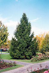 Norway Spruce (Picea abies) at Ted Lare Design and Build