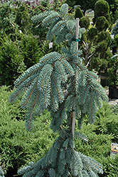 The Blues Colorado Blue Spruce (Picea pungens 'The Blues') at Ted Lare Design and Build