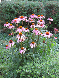 Purple Coneflower (Echinacea purpurea) at Ted Lare Design and Build