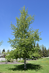 Trembling Aspen (Populus tremuloides) at Ted Lare Design and Build