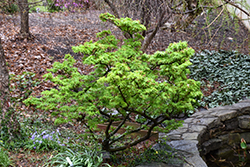 Mikawa Yatsubusa Japanese Maple (Acer palmatum 'Mikawa Yatsubusa') at Ted Lare Design and Build